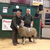 Troutbeck Breeding Ram Sale 151014